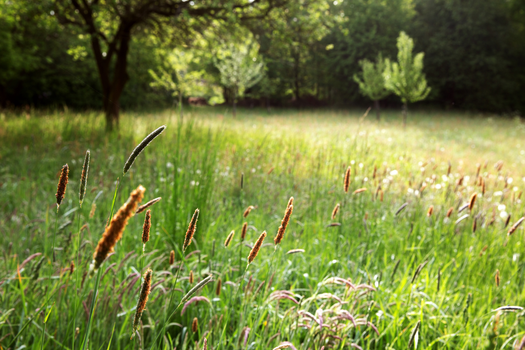 wiese-pollen-graeser-baume-heuschnupfengefahr